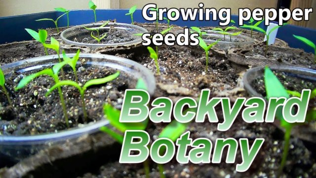 From Seed to Seedling- Backyard Botany