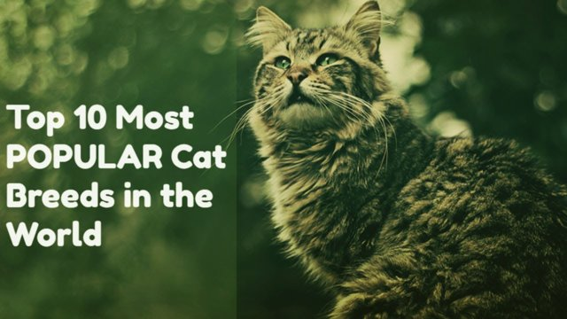 top 10 ultimate cat breeds in the world